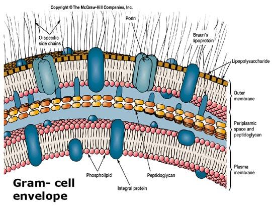 Cellhöljet hos en gramnegativ bakterie.