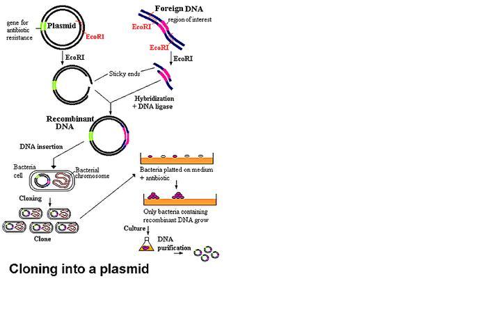 Rekayasa genetika dalam proses pembuatan insulin sebagai salah satu pada proses rekayasa genetika organisme yang sering digunakan adalah bakteri escherichia coli bakteri escherichia coli dipilih karena paling mudah ccuart Image collections