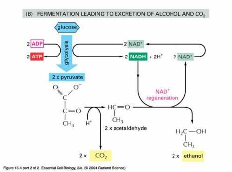 Pemanfaatan saccharomyces cerevisiae dalam industri alkohol pondok budiyanto ccuart Choice Image